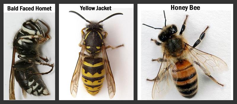honey bees vs yellow jackets - 800×351