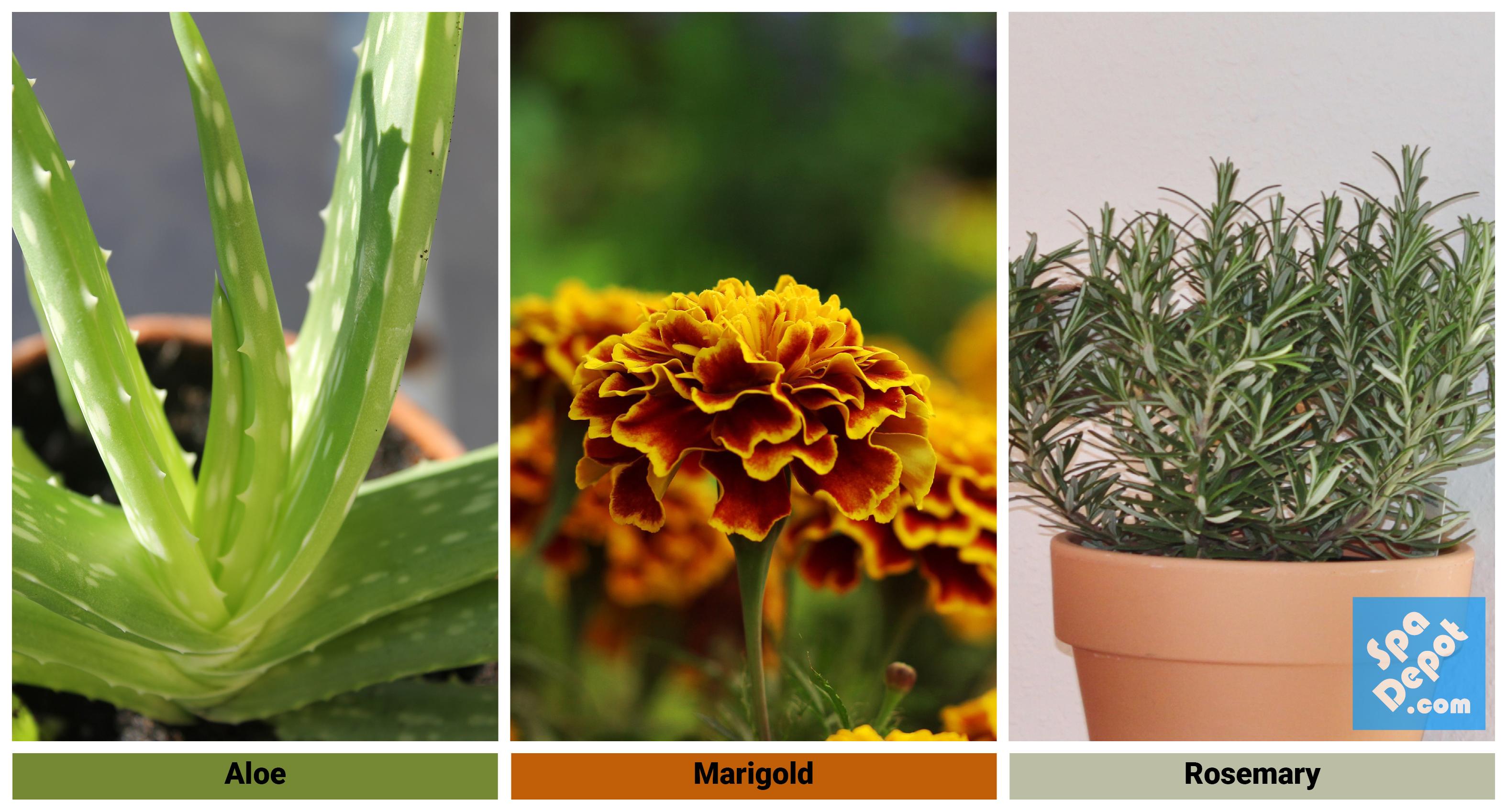 Aloe | Marigold | Rosemary Plants