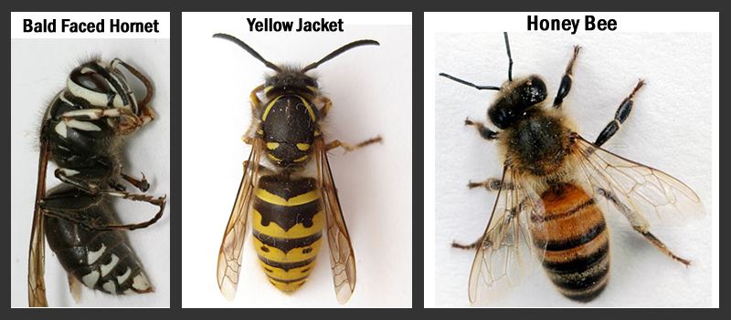 bald faced hornet, yellow jacket and honey bee
